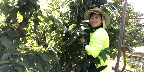 Tin Trinh hard at work fruit picking in regional Victoria (In the Word)