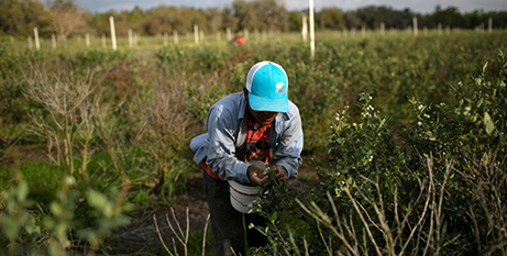A Mexican migrant worker picks blueberries in Lake Wales, Florida (CNS/Marco Bello, Reuters)