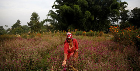A woman in Bhaktaur, Nepal, picks amaranth flowers for use in garlands and prayer offerings for the Diwali festival (CNS/Navesh Chitrakar, Reuters)